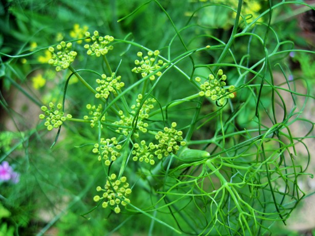 fennel-plant-1392759509sWL